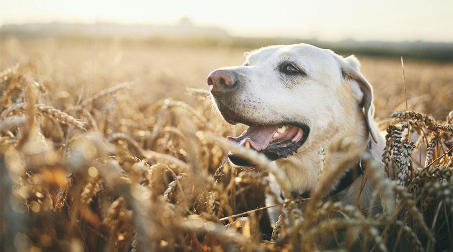 Espigues i gos