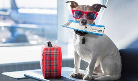 Gos amb maleta i bitllet i ulleres de sol