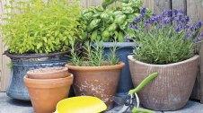 Plantes aromàtiques