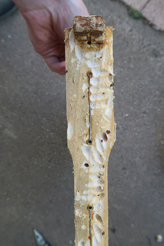 Wax moth vs wooden frame  Pests and Diseases  Canberra