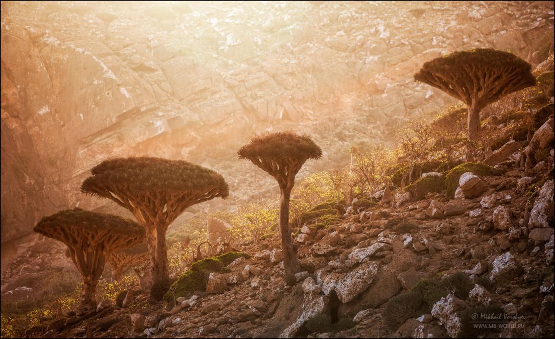 Драконовые деревья острова Сокотра 22