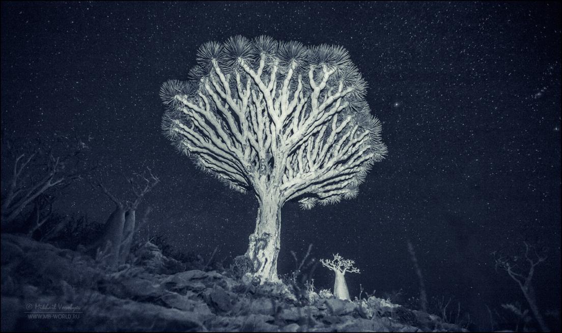 Драконовые деревья острова Сокотра 23