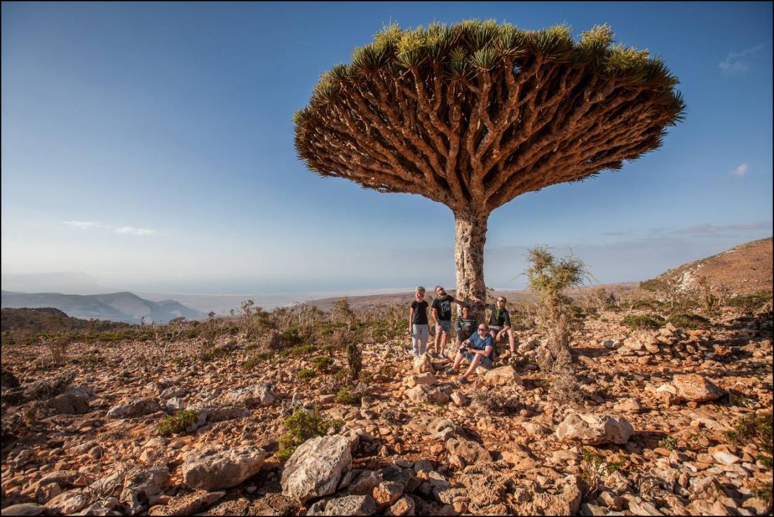 Драконовые деревья острова Сокотра 15