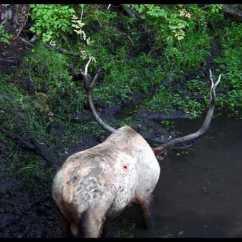 Deer Skeleton Diagram Melex 112 Golf Cart Wiring Elk Vitals Shot Placement Pictures To Pin On Pinterest - Pinsdaddy