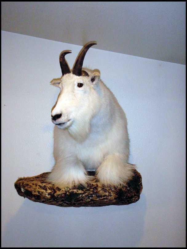 Mt Goat mounts 12 or shoulder mounts