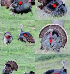 turkey head shot or body shot diagram wild turkey archery shooting [ 756 x 1135 Pixel ]