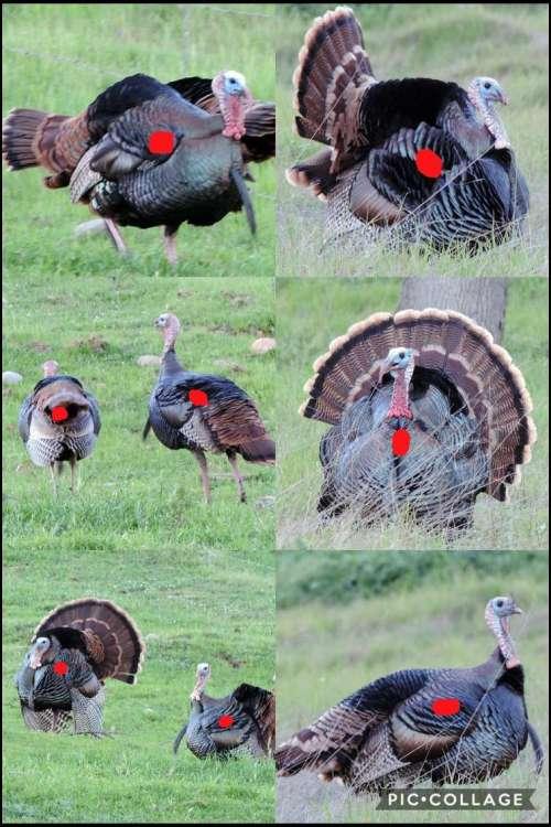 small resolution of turkey head shot or body shot diagram wild turkey archery shooting