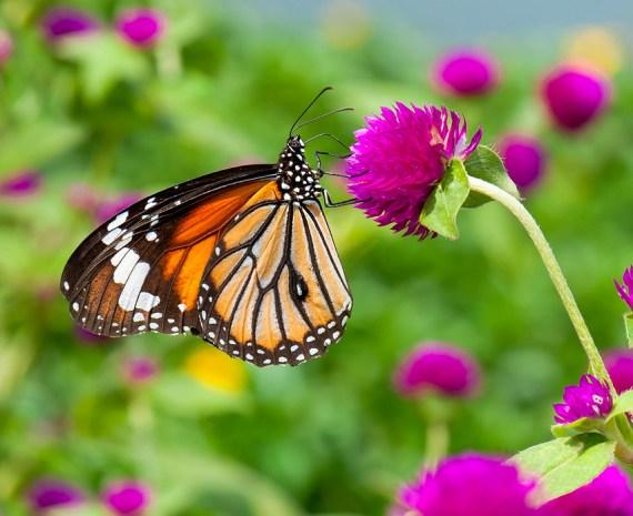 mariposa monarca sobre flor violeta - mariposario escolar