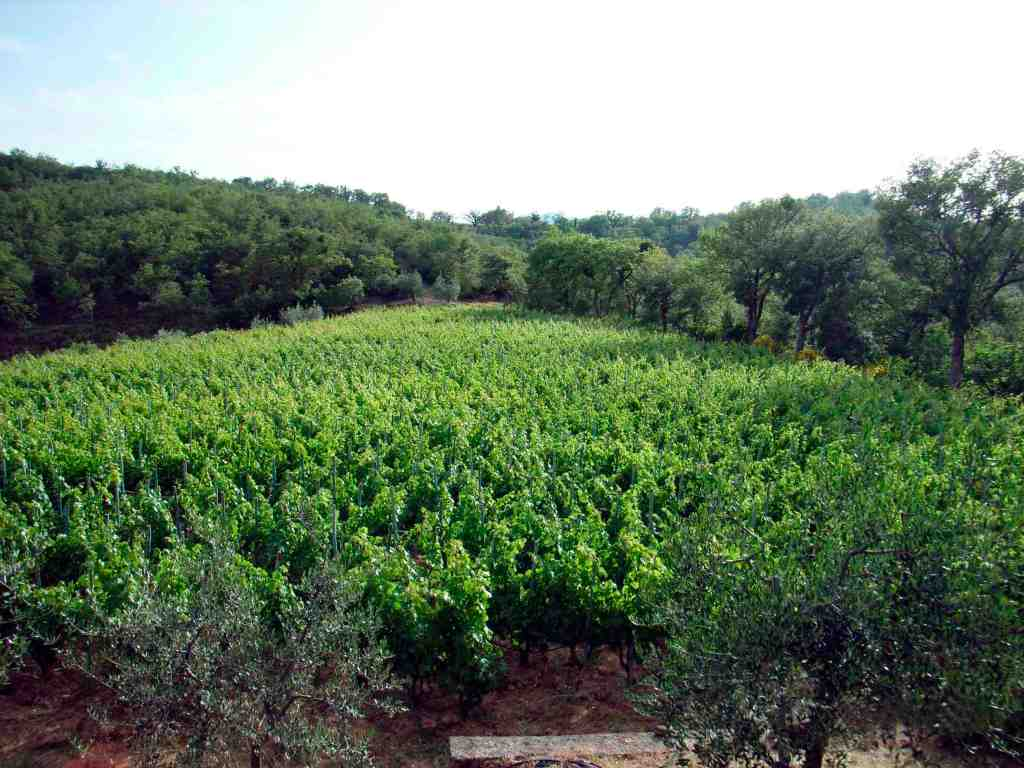 Carnasciale Vineyard