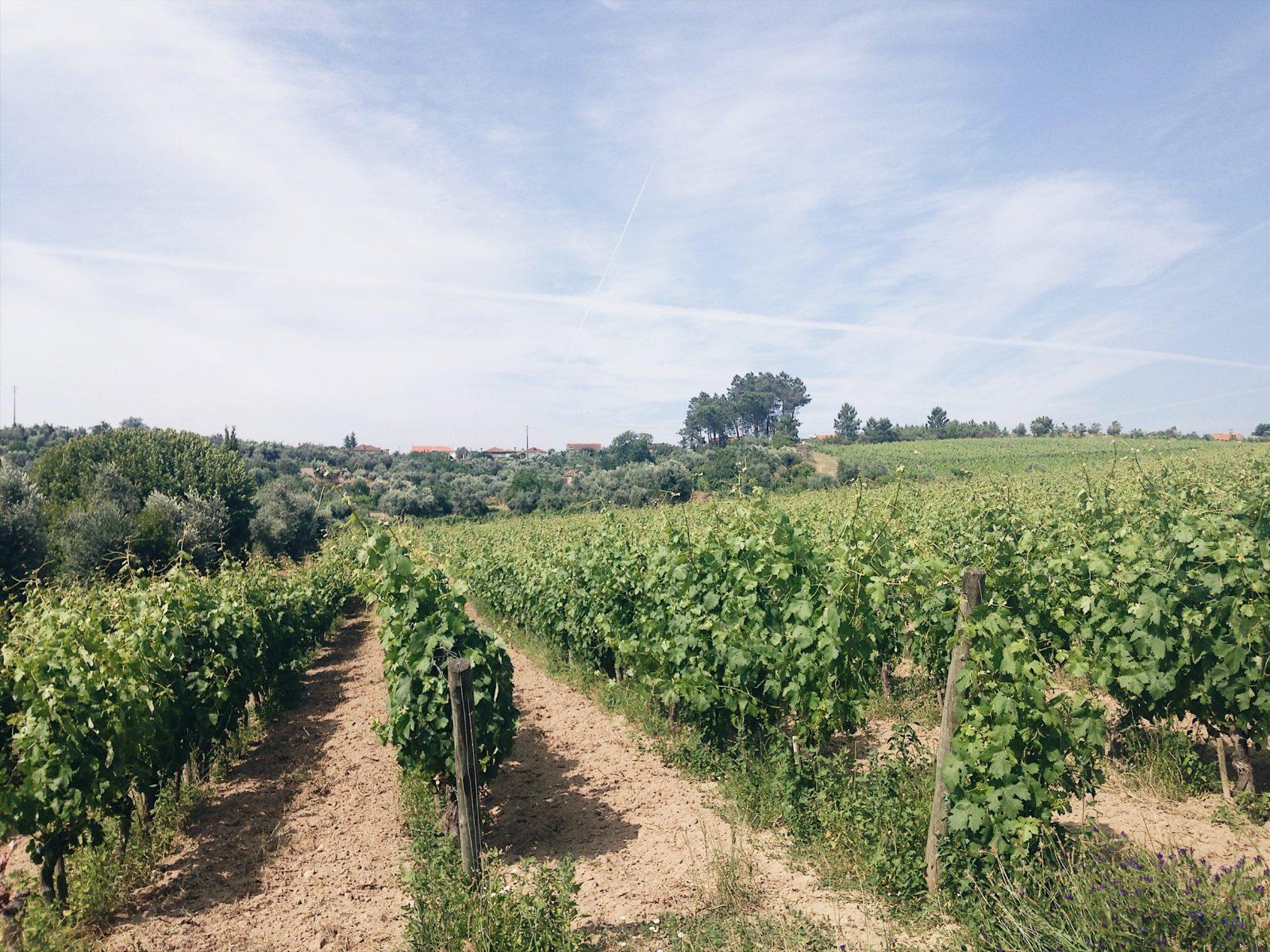 Vineyards of Quinta do Perdigão