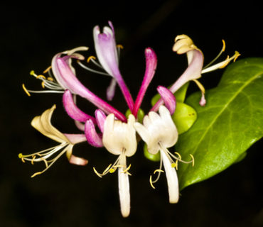 honeysuckle fragrance