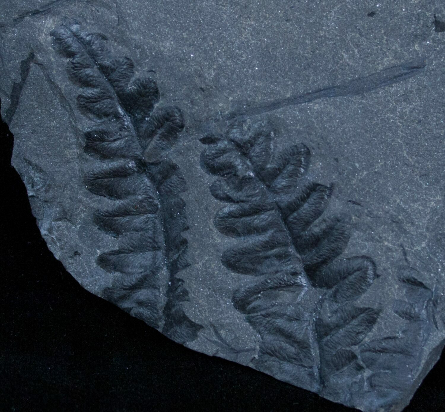 Very Well Preserved Lonchopteris Fern Fossil  Poland For