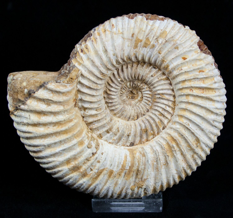 4 12 Inch Perisphinctes Ammonite  Jurassic For Sale