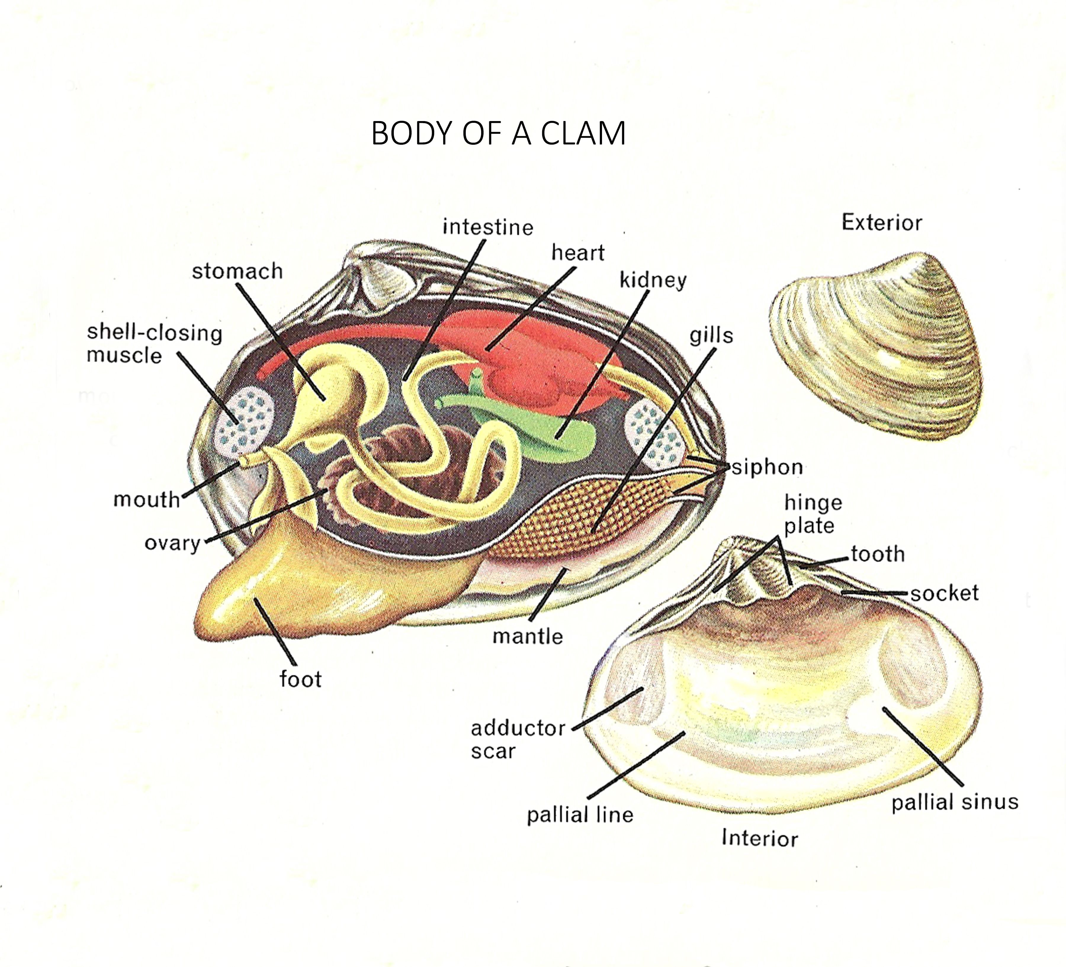 mollusca diagram labeled vw polo mk4 radio wiring clam anatomy and functions images human