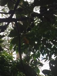 14 yr old Batikuling tree