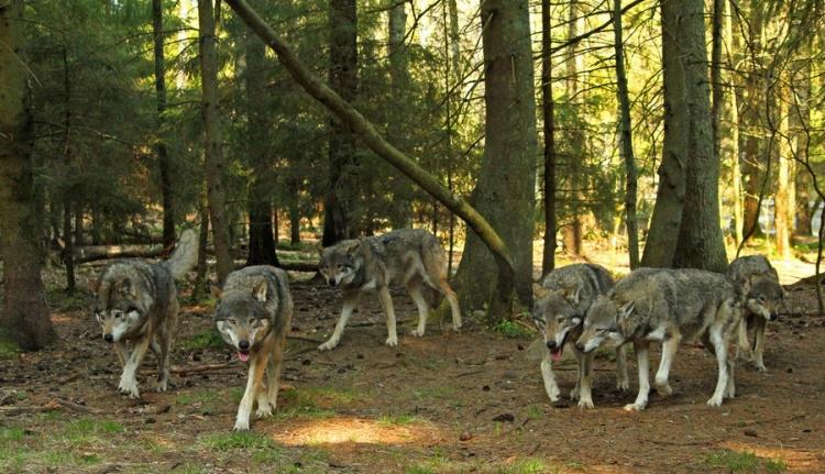 Fényes nappal tépték szét a kecskéket a farkasok