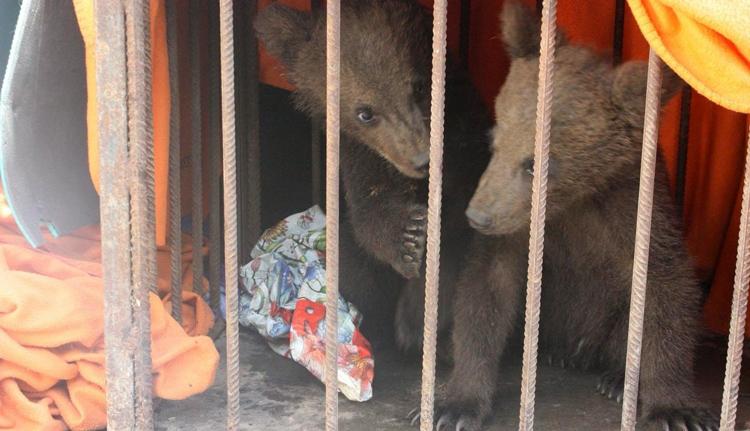 Árván maradt medvebocsokat mentettek a rendőrök