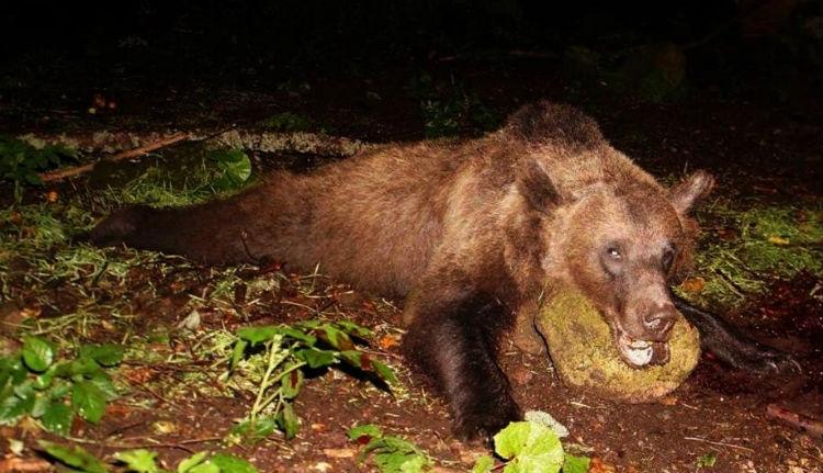 A második veszélyes medvét is kilőtték Tusnádfürdőn
