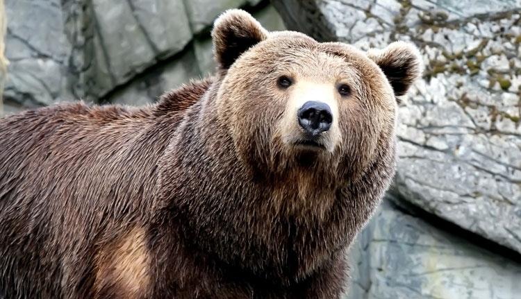 Így terelgetik a korzózó medvéket a csendőrök éjszakánként a Prahova völgyében (VIDEÓval)
