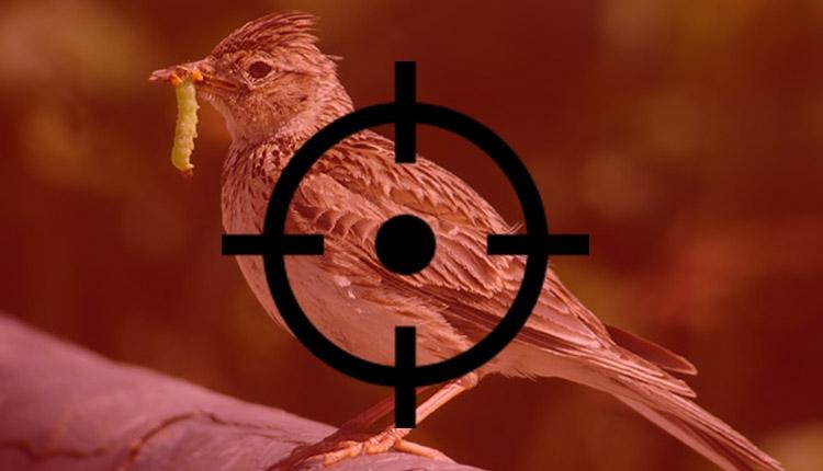 Romániai madarak százezreiből készül az olasz pacsirtanyelv-pástétom