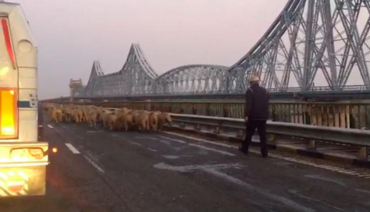 Meg lehet nyugodni: ez a hét sem telt el Romániában autópályán bégető birkanyáj nélkül
