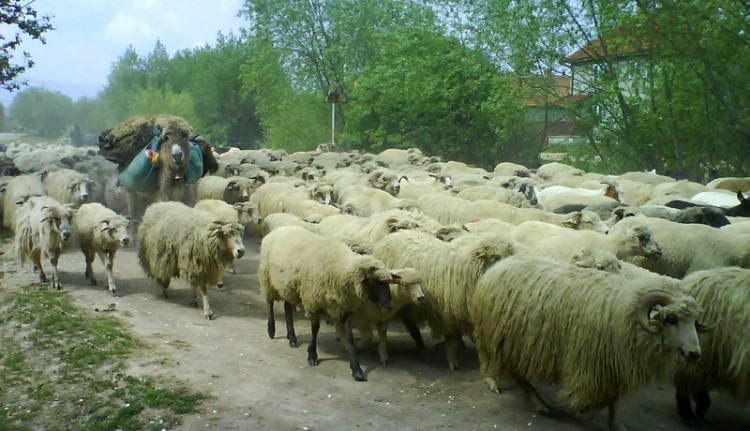 Romániai hétköznapok: autót bántalmazott a juhász, mert a sofőr nem engedte átkelni a juhokat az úttesten