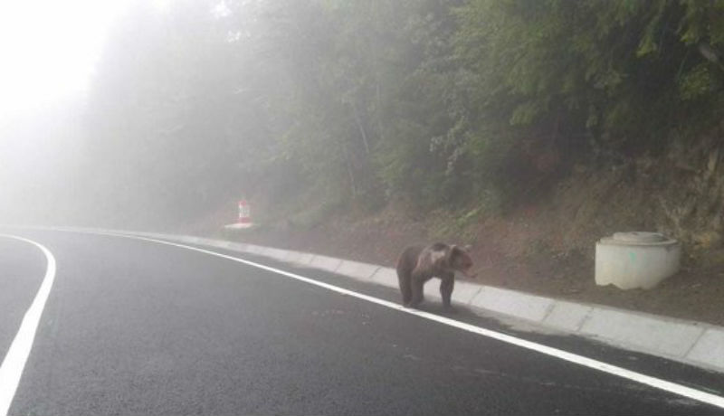 Kész őrület: már megint medvét gázoltak a Székelyföldön