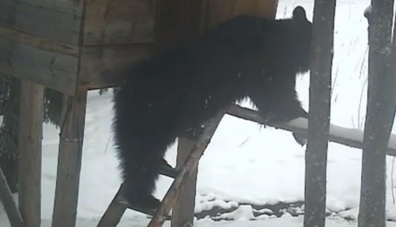 Létrán egyensúlyoz, az ajtóval is jól boldogul ez a málét lopó medve (VIDEÓval)
