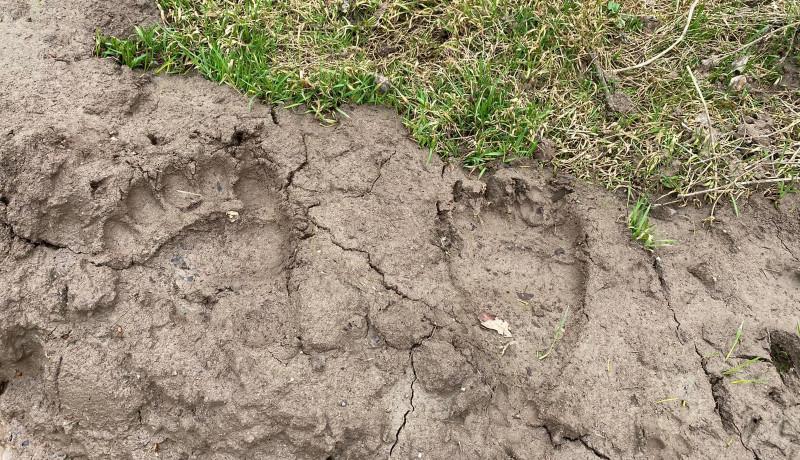 Már nem csak a Székelyföld privilégiuma a medveprobléma: Gyulafehérváron bóklászik egy jókora példány