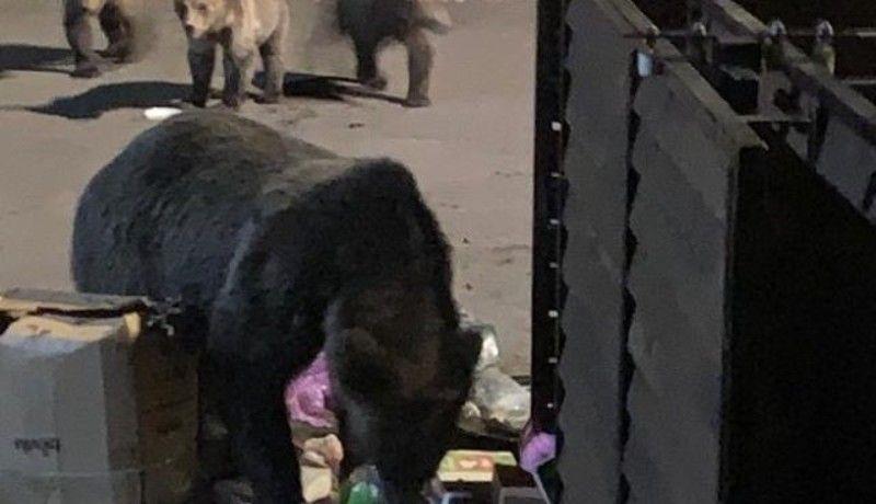 Az egyik helyen emberekre támadt a medve, a másikon még idejekorán sikerült máshova szállítani a nagyvadakat