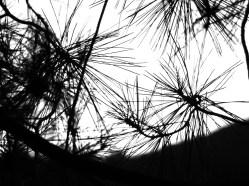 πευκοβελόνες την αυγή