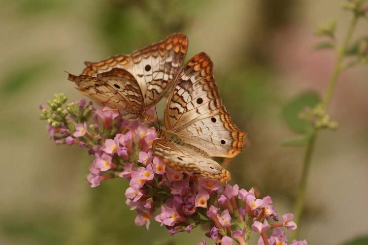 Schmetterling-butterfly