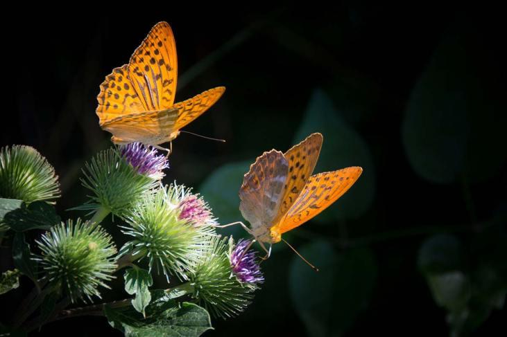 Schmetterling-silver-bordered-fritillary