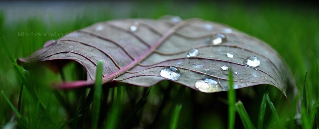 Opak listu spadnutého na tráve, s fialovými rebrami a s kvapkami vody.