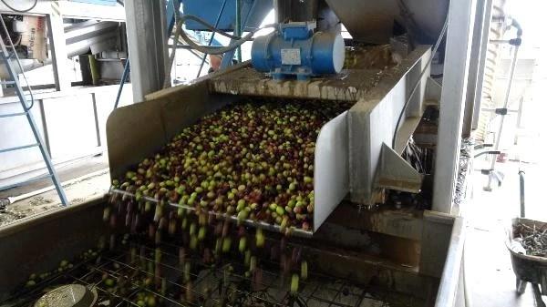 Edremit Körfezi'nde zeytin hasadı 10 bin kişiye iş kapısı oldu