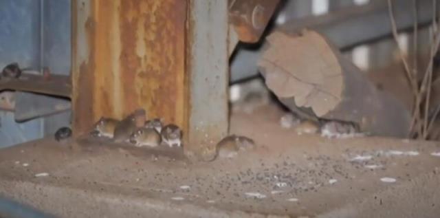 yamyam fareler avusturalya yi istila etti 14161733 6321 m