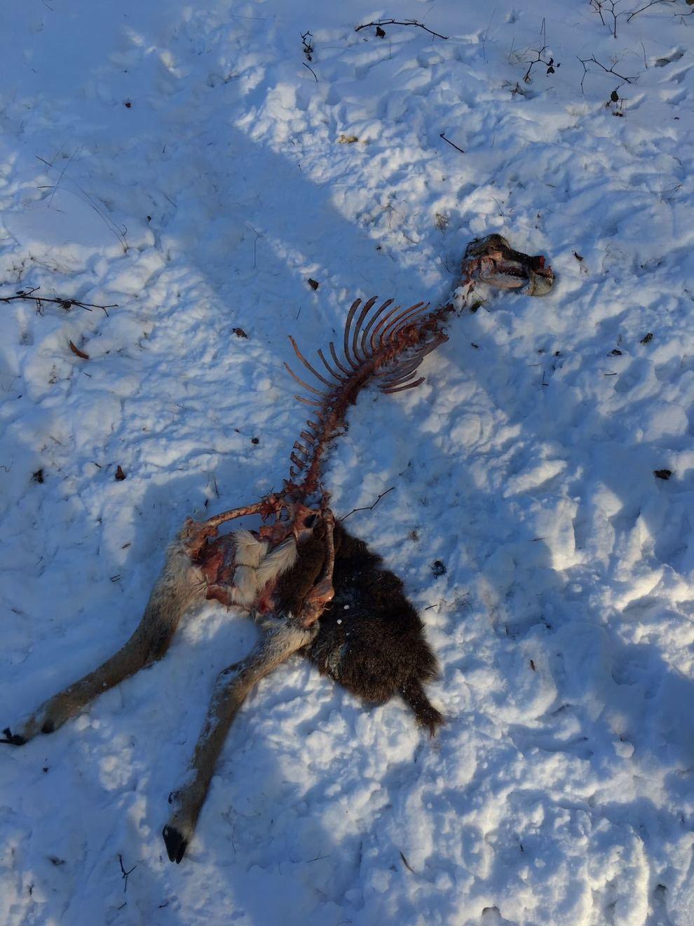 Altopiano di Asiago animali spolpati dai lupi  Il Gazzettinoit