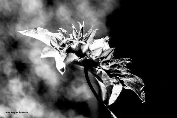 bw_20140601_flower2