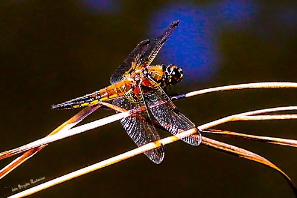 dragonfly_20140630_1