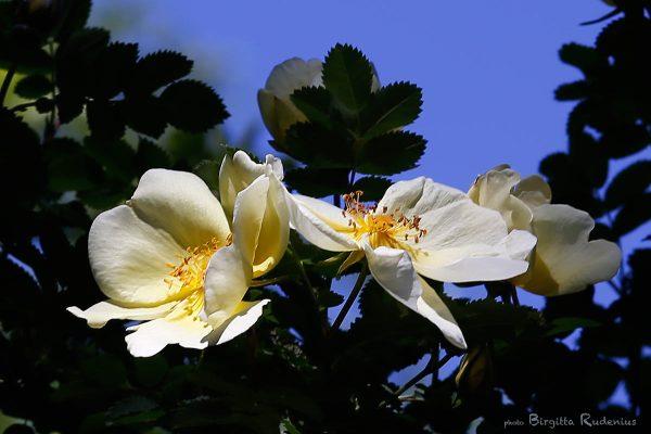 flower_20130606_gulros