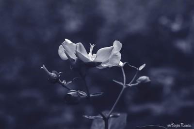 Blue - Flower White