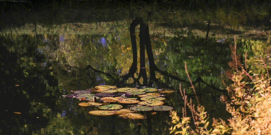 Näckrosblad i dammen - Botaniska i Lund