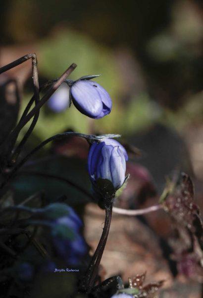 Anemone Hepatica - Blåsippa.