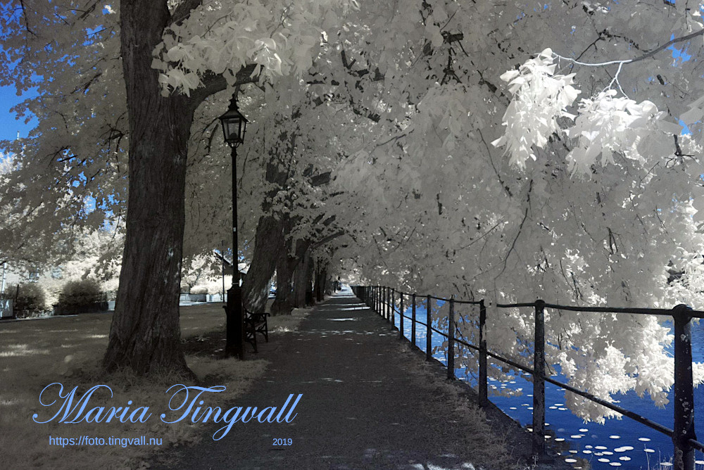 Arboga, vita träd
