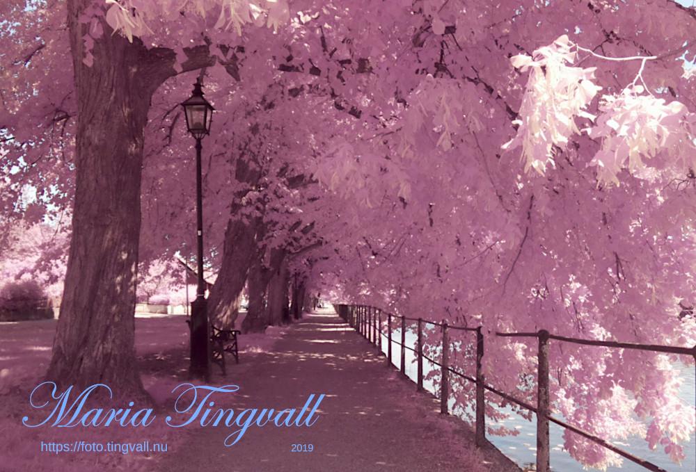 Arboga, rosa träd