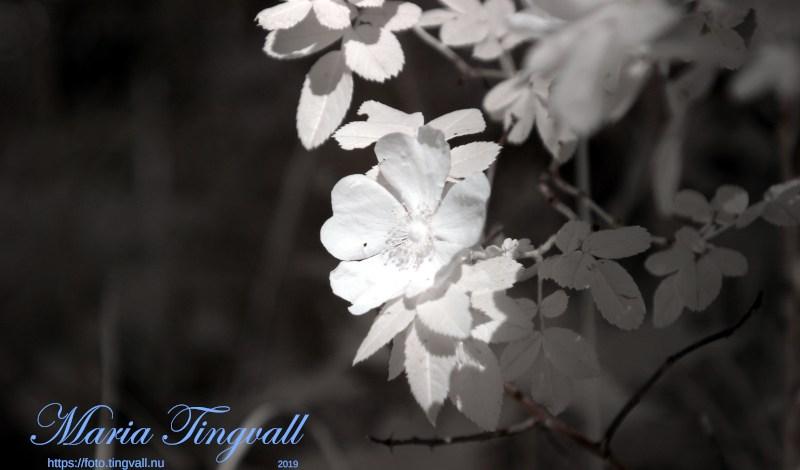 Blommande vildros