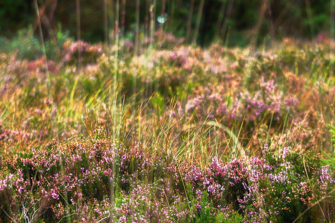 The magic of heather blossom
