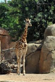 girafam