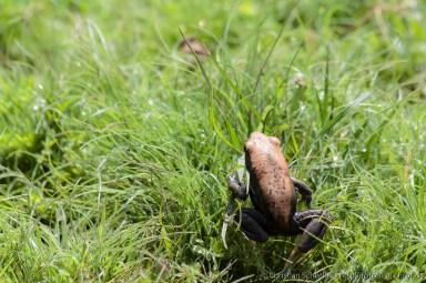 Malabar Hills Frosch
