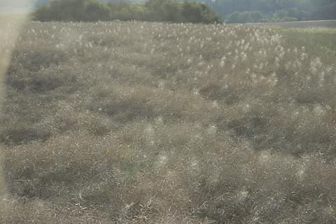 Rapsfeld bei der Ernte